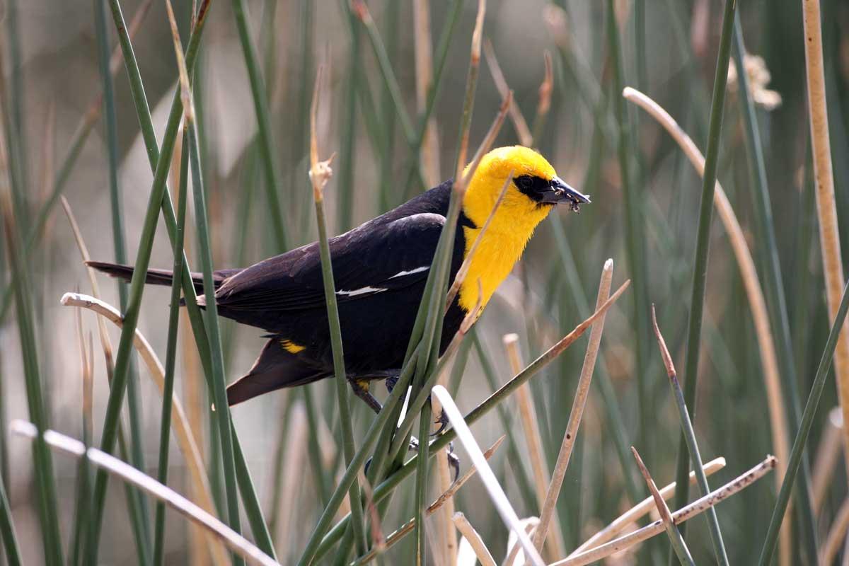 Yellow Headed Blackbird Yellow Headed Blackbird 1